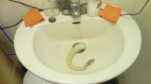 白娘子是妳嗎? 男子在廁所發現這玩意兒