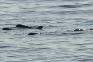 感動!小虎鯨受傷 3同伴深情守護直到牠獲救