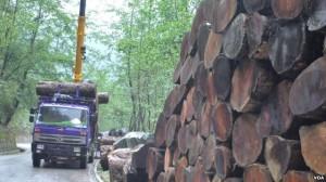 中國跨界盜伐嚴重 東南亞森林面積急速銳減