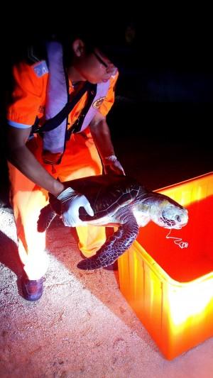恐誤食釣餌 小琉球綠蠵龜口含魚線亡
