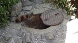 超有禮貌!小浣熊進出會輕聲「關門」