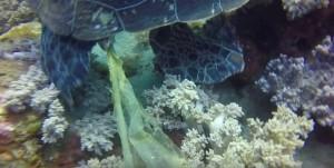 海龜便秘拉出塑膠袋 專家說分明