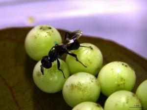 荔枝椿象防治有解 小蜂也能立大功