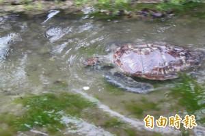 遭流刺網纏住險喪命 綠蠵龜「潮境」重返大海