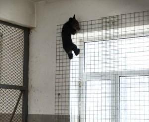 熊出沒!黑熊寶寶攀3樓外牆 無辜雙眼萌翻員警
