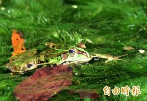 布農部落文化園區推動有機農場 金線蛙回來了