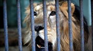 「死亡自拍」已3死  印度政府禁止與野獅合照