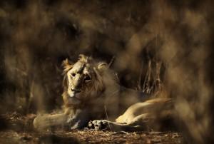 印度3頭涉嫌吃人獅子 下半生恐遭監禁