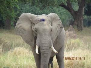 被盜獵者爆頭... 大象竟奇蹟存活