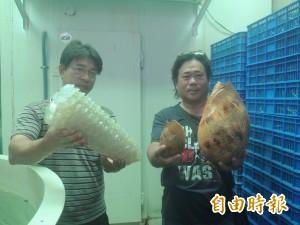 超大木瓜螺現身  澎湖海研中心將攜回研究