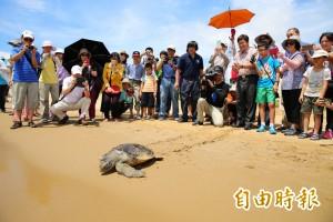 過度復育綠蠵龜恐害生態? 海生館專家:沒證據