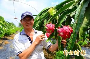火龍果產量、價格穩 農改場大力推薦