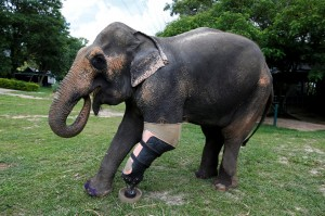 泰國象誤觸地雷斷腿  義肢上身好快活