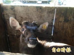 波麗士大人撿到「鹿」 幫牠撐傘、餵食人仰馬翻