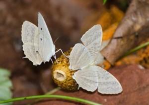 登山途中「收服」罕見蝴蝶 印度東南部首現蹤