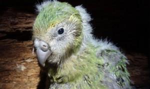 紐西蘭鴞鸚鵡成功繁殖 34隻雛鳥加入行列