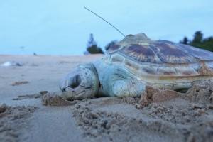 吸不到一口氣 綠蠵龜慘遭漁網纏困而亡