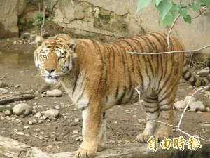 動物園猛獸區下車 遊客遭老虎襲擊1死1傷