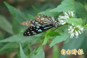 茂林環教中心成立 專人免費導覽紫斑蝶