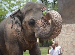 寂寞大象脫離寂寞牢籠 前往緬甸開始新生活