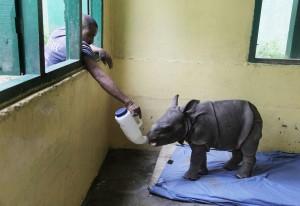 洪水肆虐 印度搶救瀕危犀牛寶寶