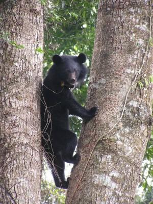 熊熊危機!玉山瓦拉米步道 目擊黑熊次數增