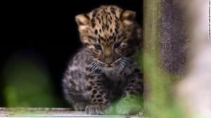 英國動物園喜迎新生 遠東豹萌樣曝光