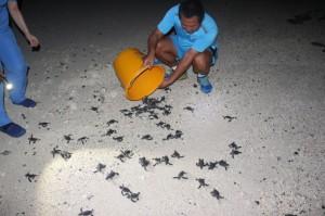 143隻綠蠵龜幼龜趴趴走 太平島軍民助返大海