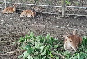 綠島梅花鹿來報到 關山親水公園迎嬌客