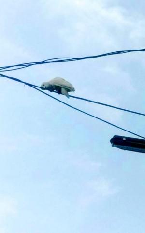 白烏龜在電線上走鋼索?仔細瞧…是白鸚鵡啦!
