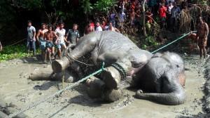 漂流千里跑到孟加拉 印度大象被活活累死…