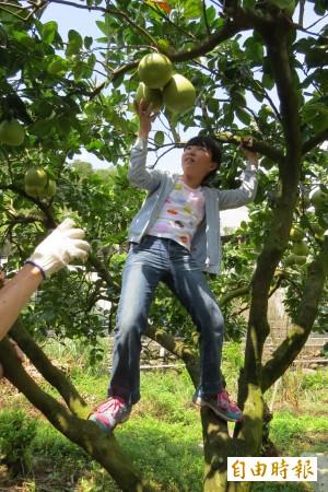 無風災攪局 基隆認養柚子樹豐收