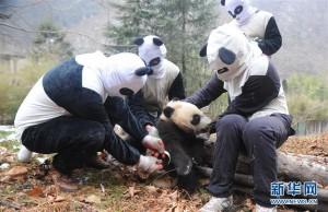 大熊貓數量上升  復育員化身「熊貓人」進行野放訓練