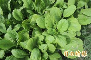 災後重建有機栽種 台東縣目標400~600公頃