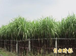 假農民連甘蔗都種反 6年來全台11萬人被退農保