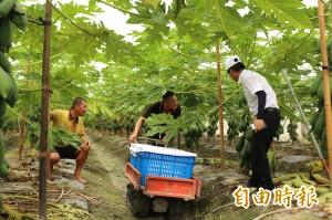聞莫蘭蒂色變 農民緊急搶收2千公斤木瓜