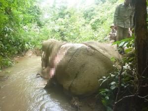 緬甸大象慘遭盜獵剝皮  只為滿足中國象皮需求