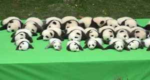 萌「翻」啦!中國23隻大貓熊寶寶亮相