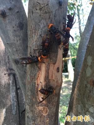 學者:蜜蜂不是洪水猛獸 為何看到就要消滅?