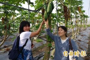 日本背包客當一日農夫 愛上六龜的蓮霧木瓜