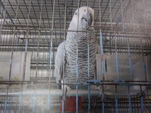 嫌鸚鵡太吵報警 赫見保育類動物