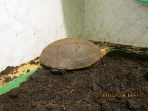 齊柏林家食蛇龜長這樣! 動保處:最高可罰5萬