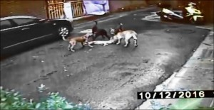 縱狗殺貓事件 內湖街貓「煉乳」犬口逃生