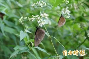 茂林雙年賞蝶明開幕 一起加入護蝶行列