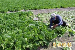 冬季蔬菜進入產期 短期葉菜價格腰斬