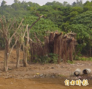 淡水BOT案大榕樹「斷頭」修剪 景觀處開罰