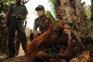 印尼婆羅洲   保育類紅毛猩猩遭綁樹上販售