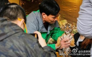 想睡還被拍醒! 上海動物園強迫幼虎與遊客合照