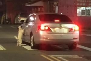 太可惡!白狗當街遭棄養 淒厲哀嚎求上車