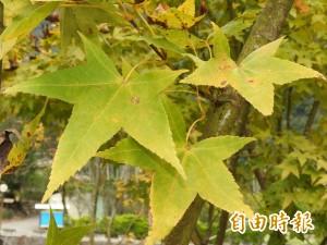 天冷楓葉開始變色  仁愛鄉黃金楓林耀眼